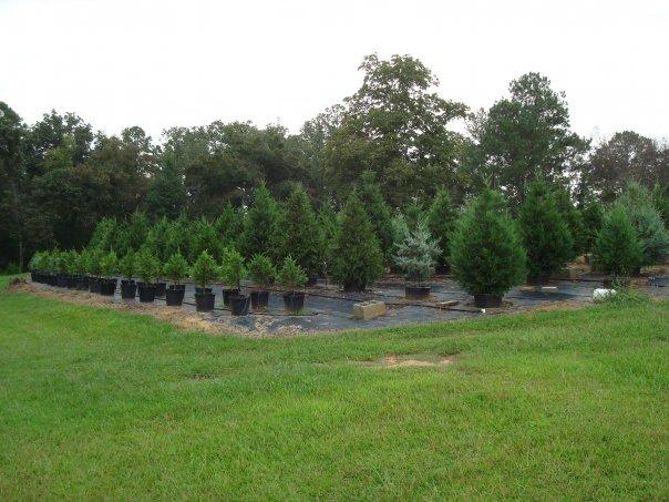 looking for a living christmas trees - Christmas Tree Farms Near Me